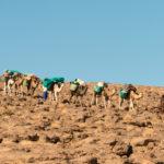 Die Dromedar-Karawane durchquert schwer bepackt die Felswüste